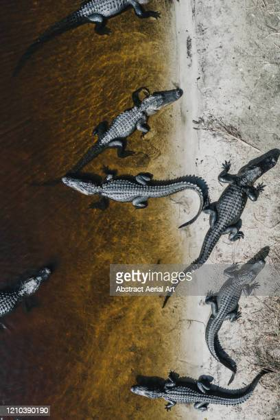 aerial perspective of six american alligators bathing in the sun, florida, united states of america - florida us state stock pictures, royalty-free photos & images