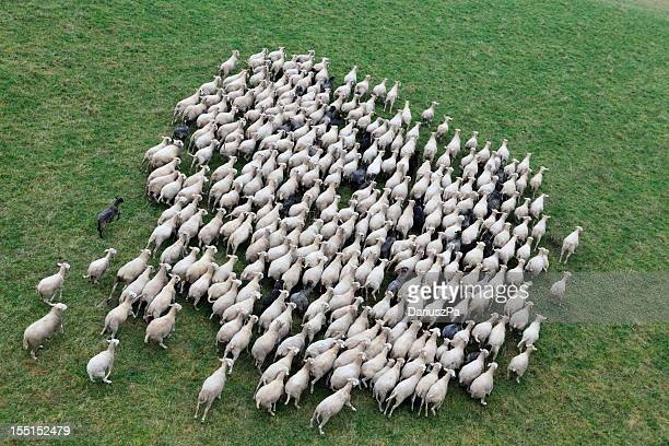 Aerial photo of farm animal