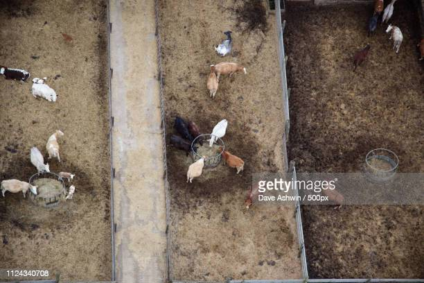 aerial photograph cows - dave ashwin stock pictures, royalty-free photos & images