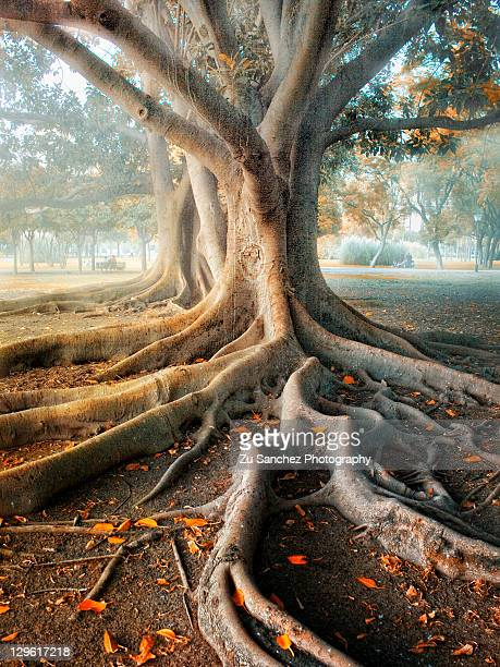 aerial roots - tree roots stock pictures, royalty-free photos & images