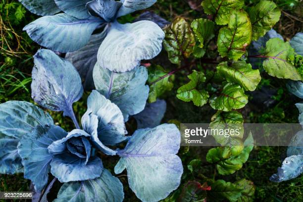 luchtfoto van biologische groenten op boerderij perceel - kool kool familie stockfoto's en -beelden