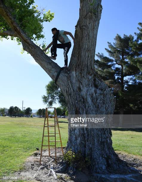 Aerial straps artist and dancer Denis Bazhenov from the WOW The Vegas Spectacular show at the Rio Hotel Casino climbs a tree to hang his equipment in...