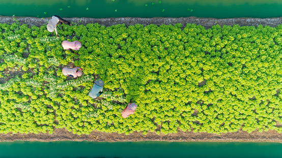 aerial top view gardener collecting chinese cabbage in vegetable garden groove, Asia thailand. - gettyimageskorea