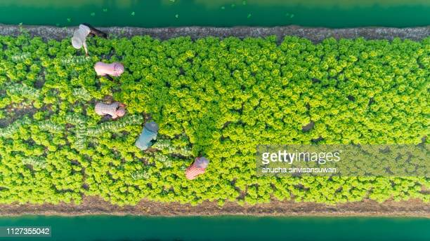 aerial top view gardener collecting chinese cabbage in vegetable garden groove, Asia thailand.