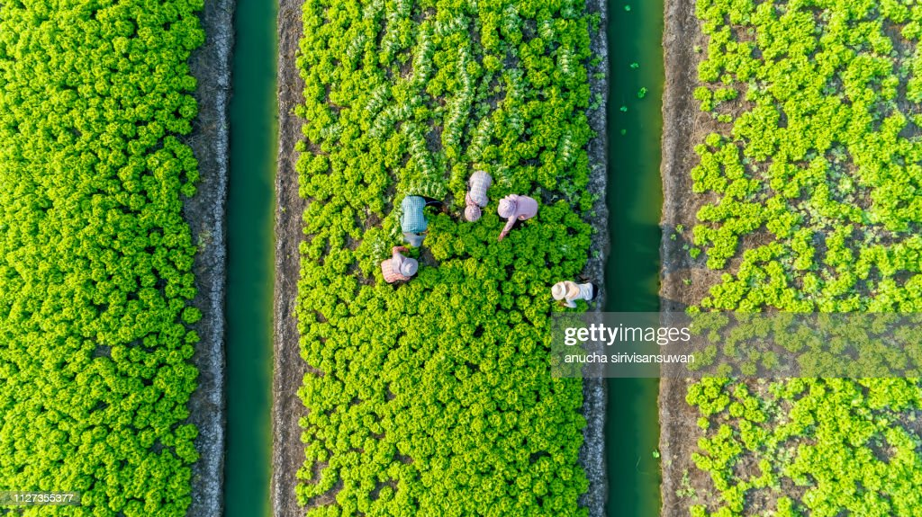 aerial top view gardener collecting chinese cabbage in vegetable garden groove, Asia thailand. : Stock Photo