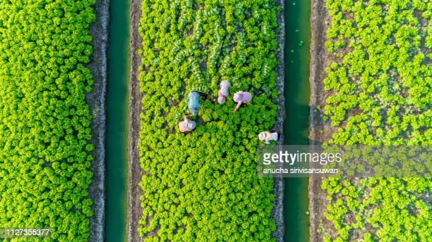aerial top view gardener collecting chinese cabbage in vegetable garden groove, asia thailand. - vista cenital fotografías e imágenes de stock