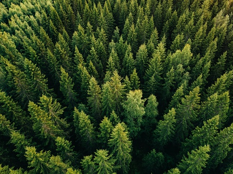 Aerial top view of summer green trees in forest in rural Finland. 923623146