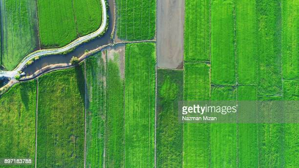 Aerial view. A paddy farmland produced excellent output with enough water and nutrition.