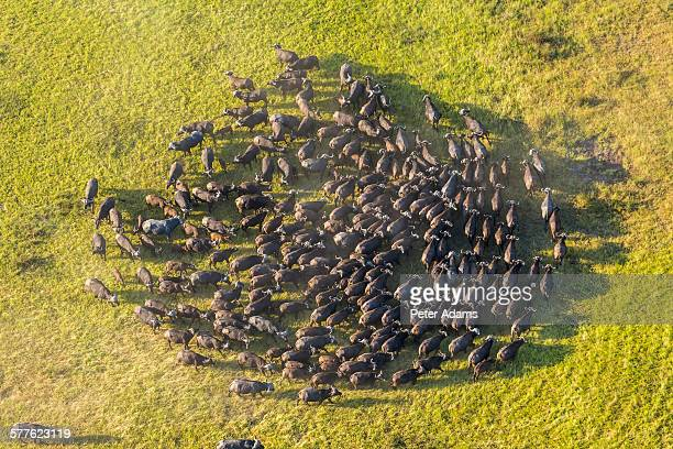 aerial view african buffalo herd, okavango delta - animal migration stock pictures, royalty-free photos & images