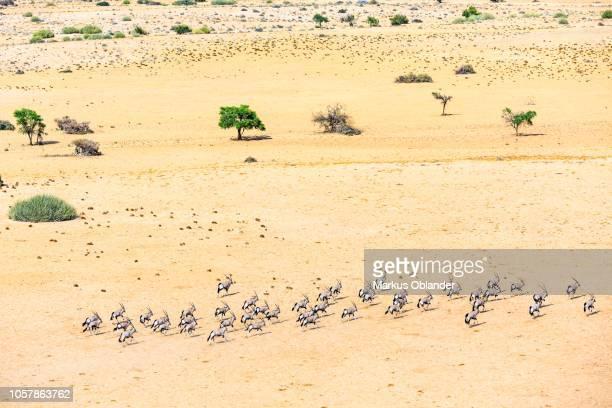Aerial view, Gemsboks (Oryx gazella), herd running through dry steppe, Tinkas Plains, Namib-Naukluft National Park, Erongo region, Namibia