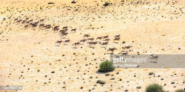 Aerial view, Hartmann's mountain zebras (Equus zebra hartmannae), herd running through dry steppe, Tinkas Plains, Namib-Naukluft National Park, Erongo region, Namibia