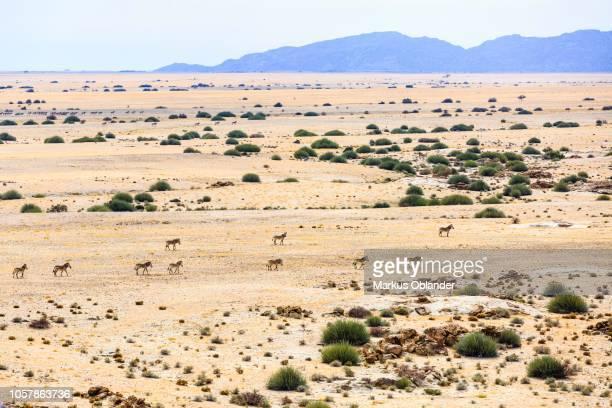 Aerial view, Hartmann's mountain zebras (Equus zebra hartmannae), herd travels through dry steppe, Tinkas Plains, Namib-Naukluft National Park, Erongo region, Namibia