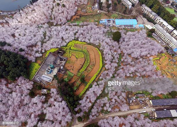 Aerial view image shows cherry blossoms magnolia flowers and rape flowers form sea of flowers in Hongfeng Lake on March 16 2016 in Guiyang Guizhou...