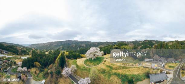 Aerial view of a 1000 year old Japanese cherry blossom tree
