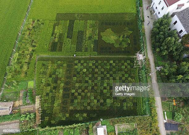 Aerial view of a colourful rice field planted into the patterns of a map of China and carpets in Zhonghong village on October 13 2015 in Shanghai...