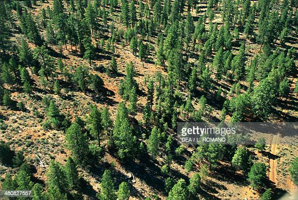 Aerial view of a coniferous forest Coconino Plateau Arizona United States of America