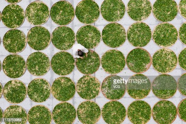 Aerial view of a farmer airing newly picked tea leaves on September 7 2019 in Zhanjiang Guangdong Province of China