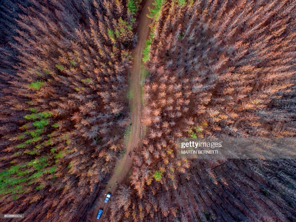 Aerial view of a forest area consumed by a massive fire and now being sowed by dogs in Talca, about 350 kilometres south of Santiago on June 23, 2017. Instead of a vast, ancient native forest, there are only fallen trunks and burnt grasslands. But in an unprecedented campaign, three border collies are helping reforest extensive areas of Chile devastated by forest fires in early 2017. / AFP PHOTO / Martin BERNETTI