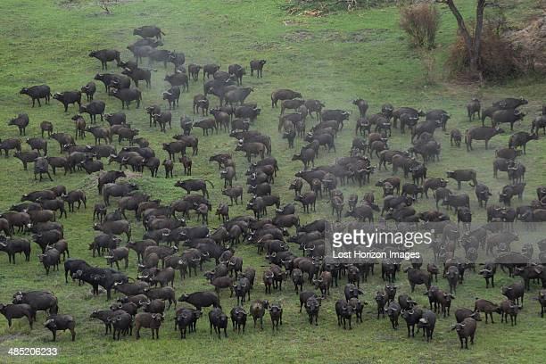 Aerial view of a herd of buffalo, Okavango Delta, Chobe National Park, Botswana, Africa