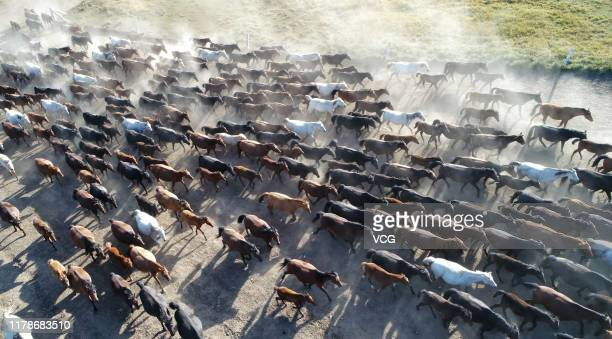 Aerial view of a herd of horses at Shandan horse ranch on October 2 2019 in Zhangye Gansu Province of China