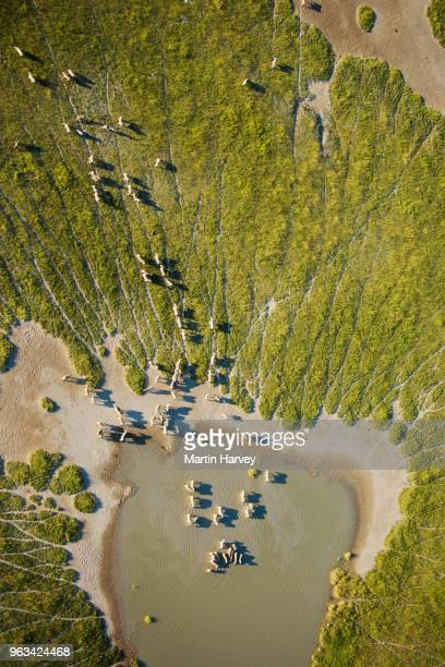 aerial view of a herd of migrating burchell's zebras (equus burchelli) drinking at the makgadikgadi pans, botswana - okavango delta stock photos and pictures