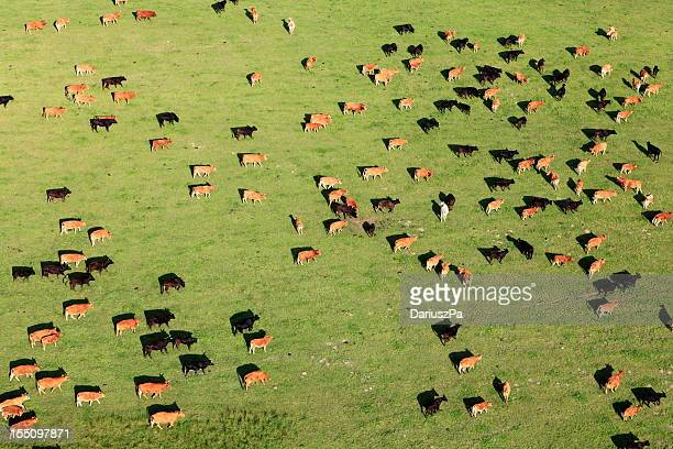 Aerial view of a large group of cattle in pasture