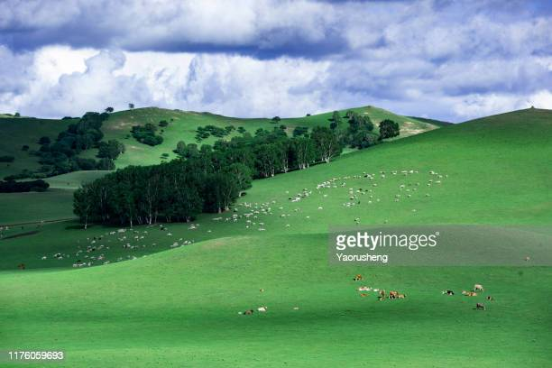 aerial view of a large group of cattle in pasture,under the bluesky - pasture stock pictures, royalty-free photos & images