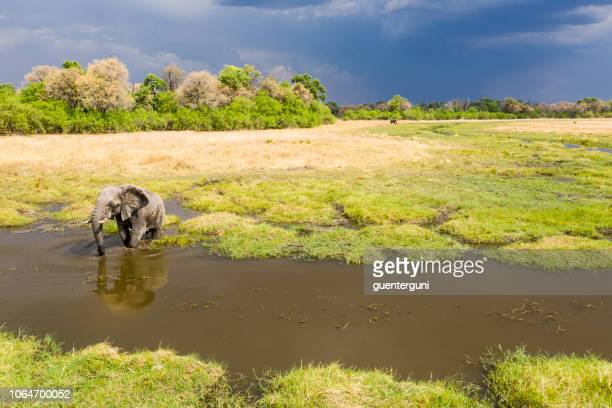 aerial view of a male elephant, okavango delta, botswana, africa - okavango delta stock pictures, royalty-free photos & images