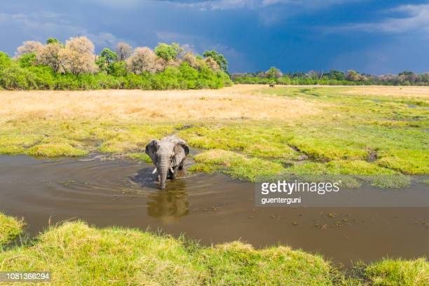aerial view of a male elephant, okavango delta, botswana, africa - safari animals stock pictures, royalty-free photos & images