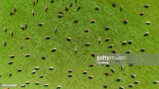 aerial view of a meadow with cows - aerial view stock pictures, royalty-free photos & images