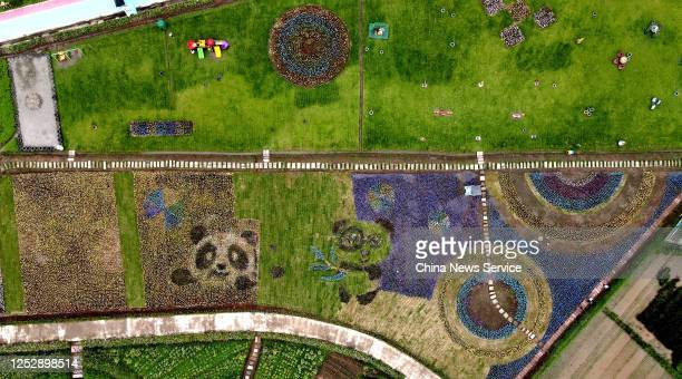 Aerial view of a painting of giant pandas on a rice paddy field on June 27, 2020 in Hongya County, Sichuan Province of China.