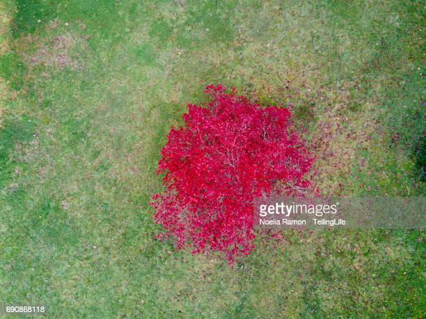 Aerial view of a pink tree