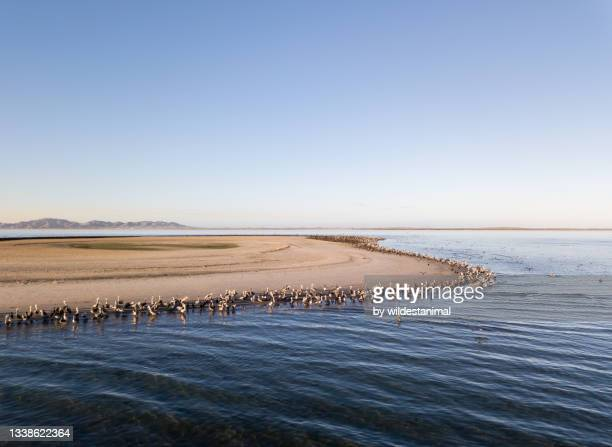 aerial view of a sea bird colony with pelicans and cormorants, magdalena bay, baja california, mexico. - メキシコ北部 ストックフォトと画像