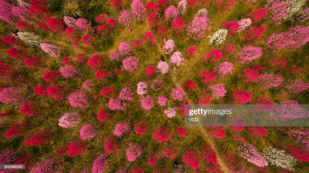 Peach Blossoms In Deyang : News Photo