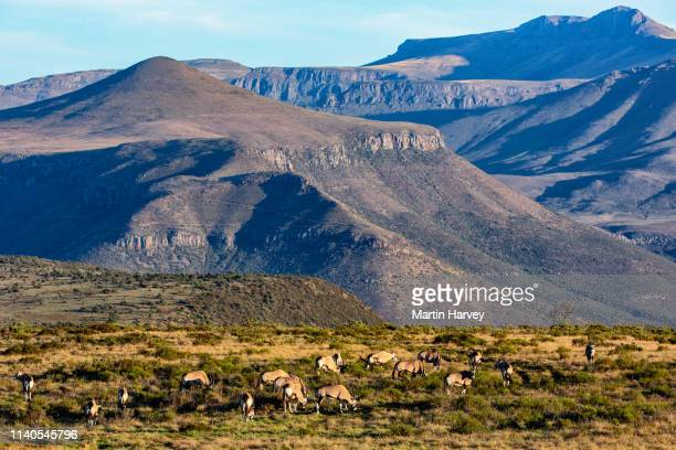 4k aerial view of a small group of gemsbok(oryx gazelle)standing in a scenic mountain landscape in africa - nature reserve stock pictures, royalty-free photos & images
