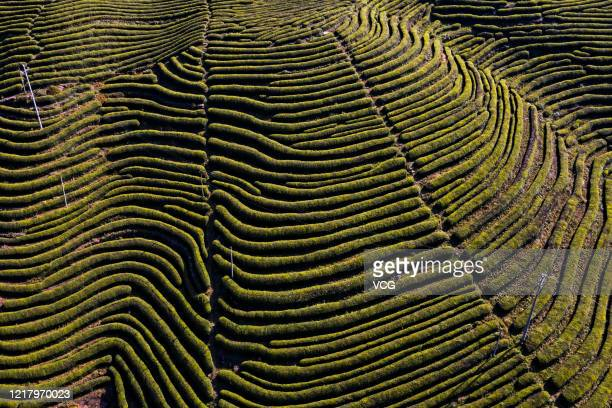Aerial view of a tea garden at Songmuping town on April 9, 2020 in Yidu, Hubei Province of China.