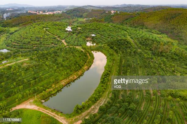Aerial view of a tea garden on September 7 2019 in Zhanjiang Guangdong Province of China