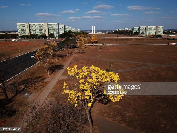 Aerial view of a yellow ipe or lapacho in the central region of Brasilia on September 1, 2020.
