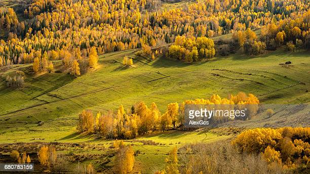 Aerial view of alpine forest, Kanas Lake, Xinjiang, China