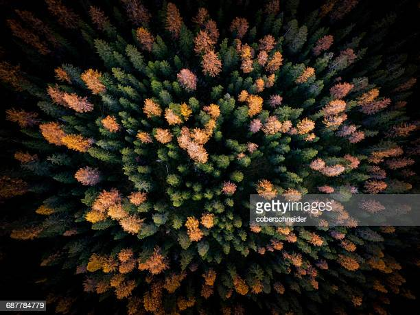 aerial view of autumn forest, puster valley, south tyrol, italy - larch tree stock pictures, royalty-free photos & images