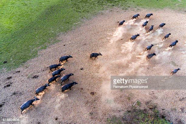 Aerial View of Buffalo running in the meadow