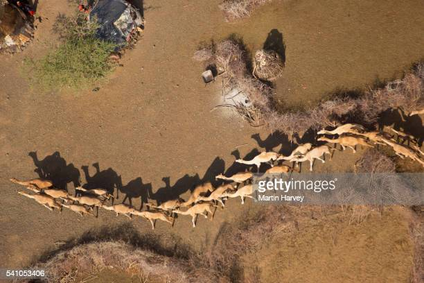 aerial view of camels(camelus dromedarius) in their pens. northern kenya - mandria foto e immagini stock