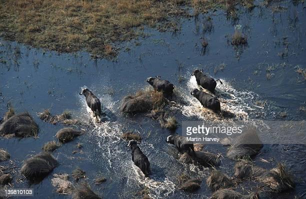 Aerial view of Cape buffalo herd crossing floodplain, Syncerus caffer, Okovango Delta, Botswana, Sub-Saharan Africa.