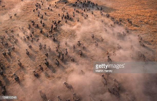 aerial view of cape buffalo herd, syncerus caffer, okovango delta, botswana, sub-saharan africa. - mandria foto e immagini stock