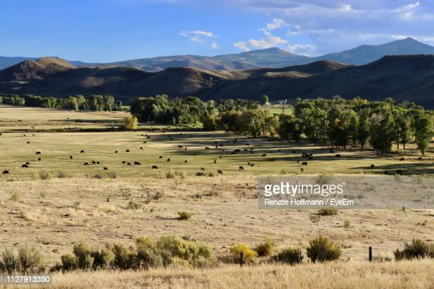 aerial view of cattle grazing on land - grazing stock pictures, royalty-free photos & images