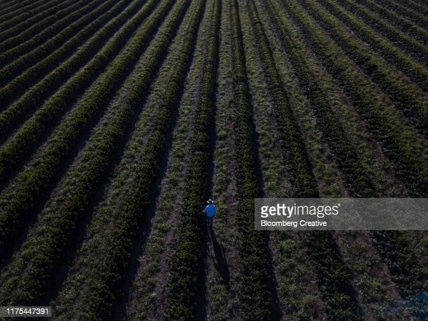 aerial view of coffee plants being inspected - café colheita imagens e fotografias de stock