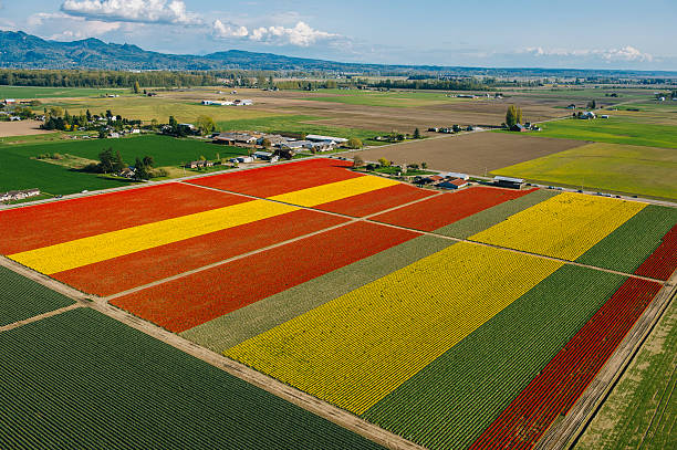 Aerial view of colorful tulip fields and distant mountains