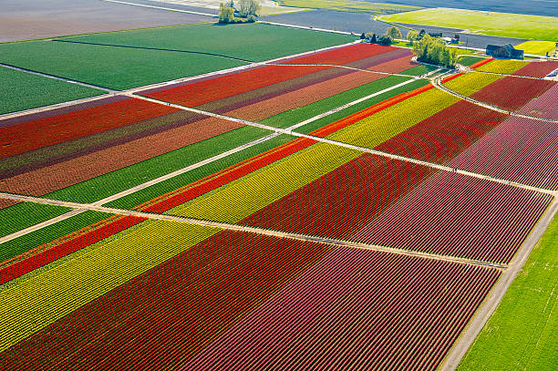 Aerial view of colorful tulip fields and paths