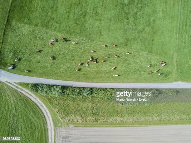 aerial view of cows grazing on green field - grazing stock pictures, royalty-free photos & images