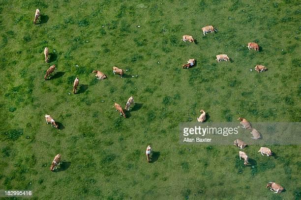 aerial view of cows grazing - mandria foto e immagini stock